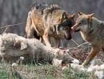 Turmă de oi atacată de lupi