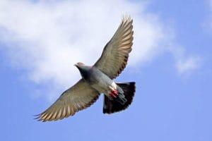Deveanul Ioan Horvat are cei mai rapizi şi inteligenţi porumbei: Campion internaţional la sportul columbofil